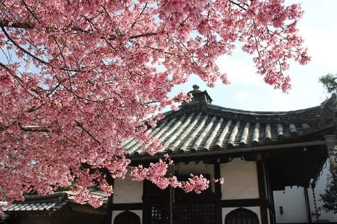 意外と穴場のお花見スポット「お寺」